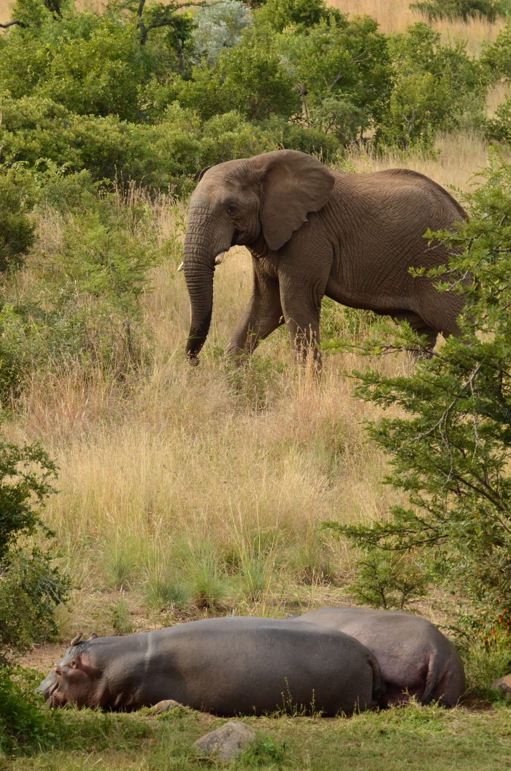Olifant en nijlpaarden