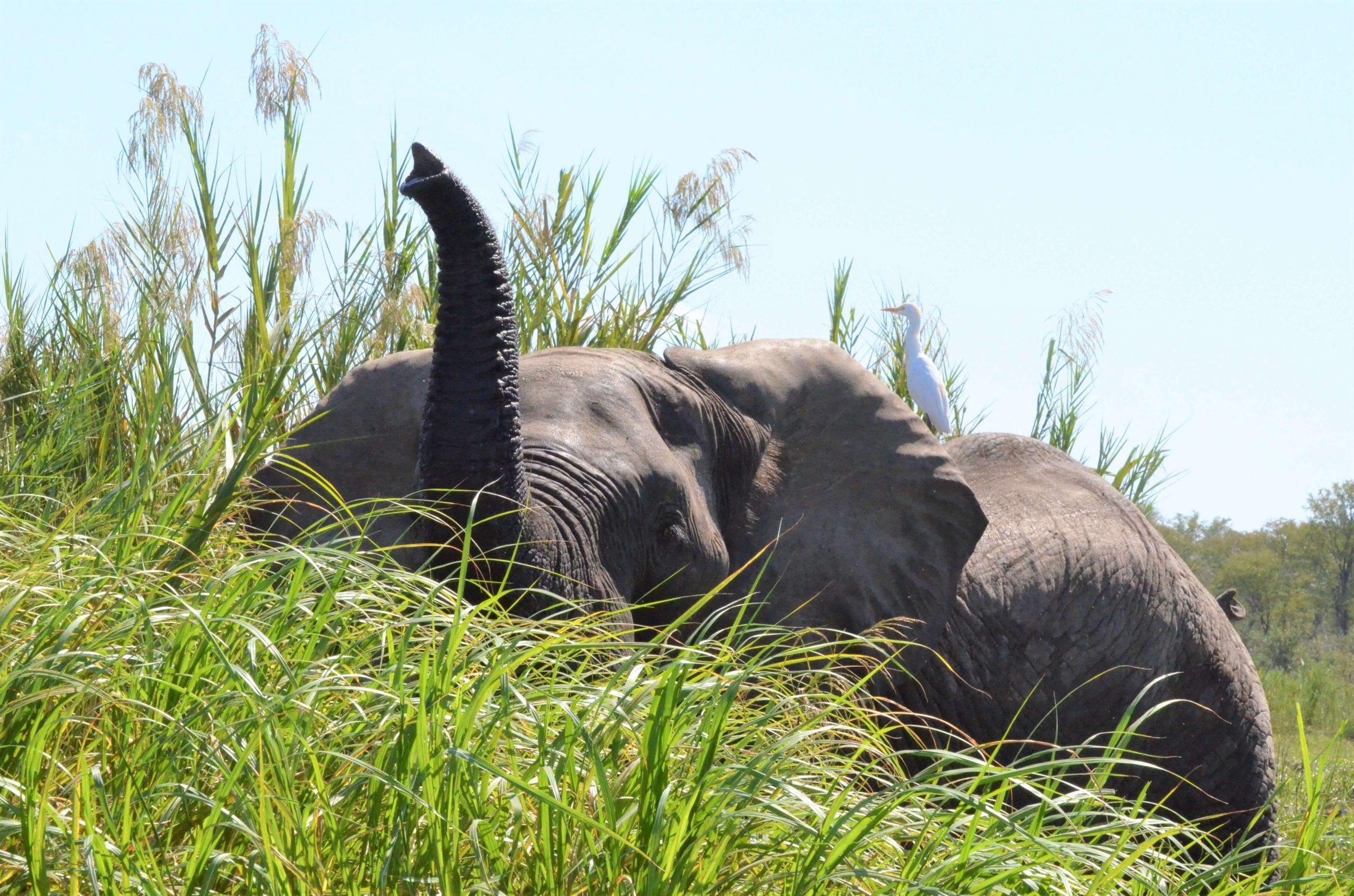 Elephant on safari in Malawi
