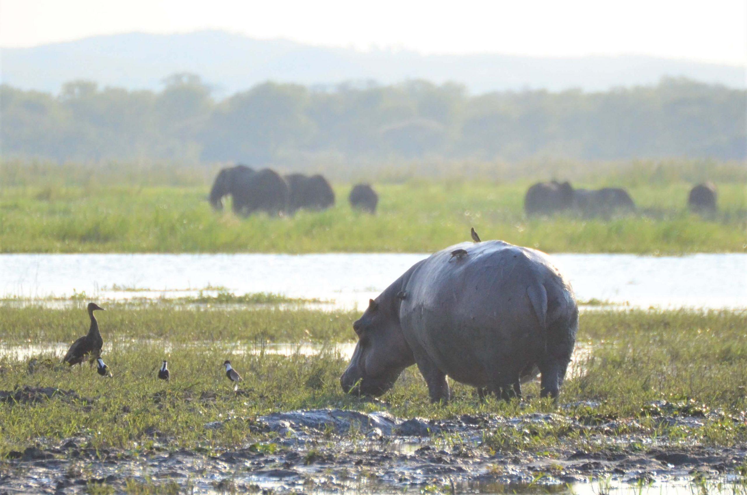 Hippo and elephants on safari in Malawi