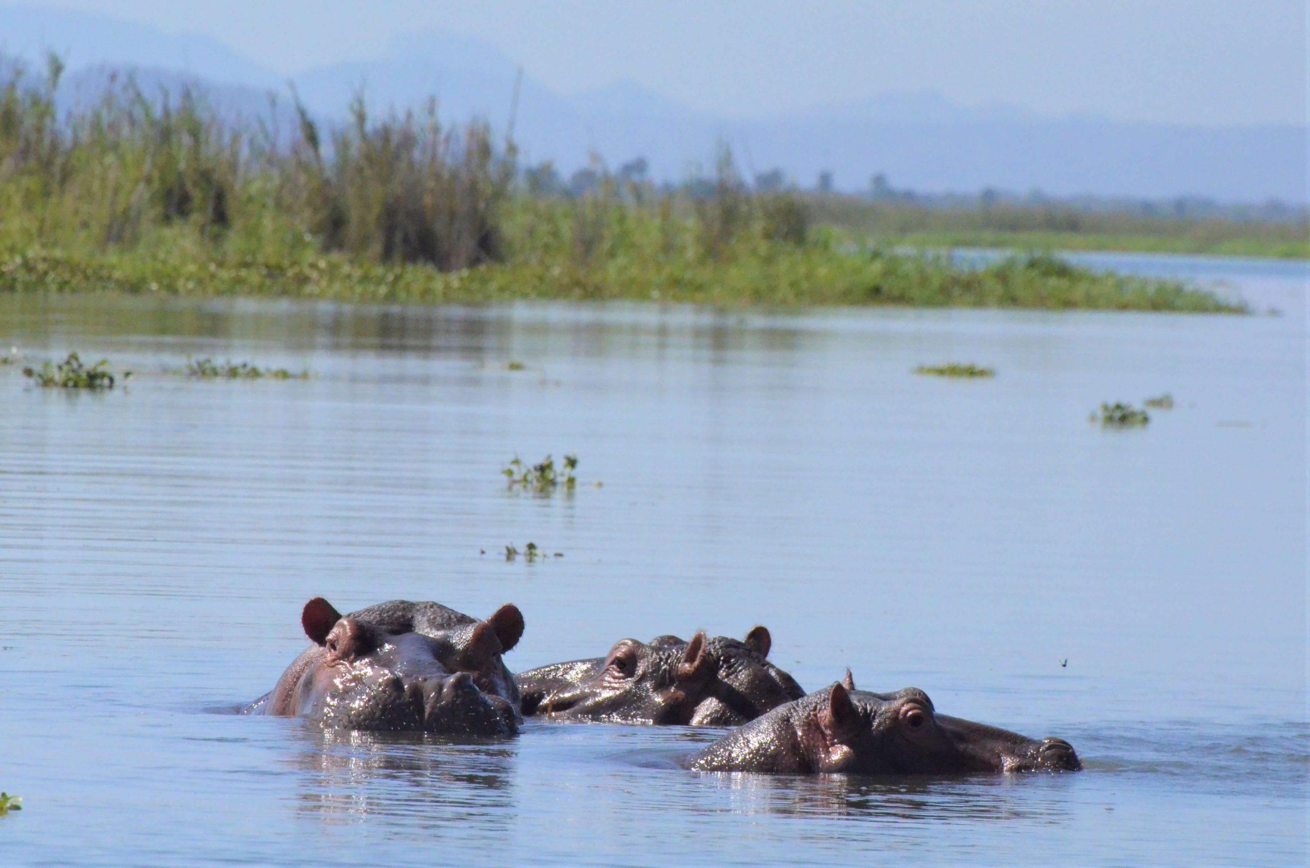 Hippos on a boat safari in Malawi