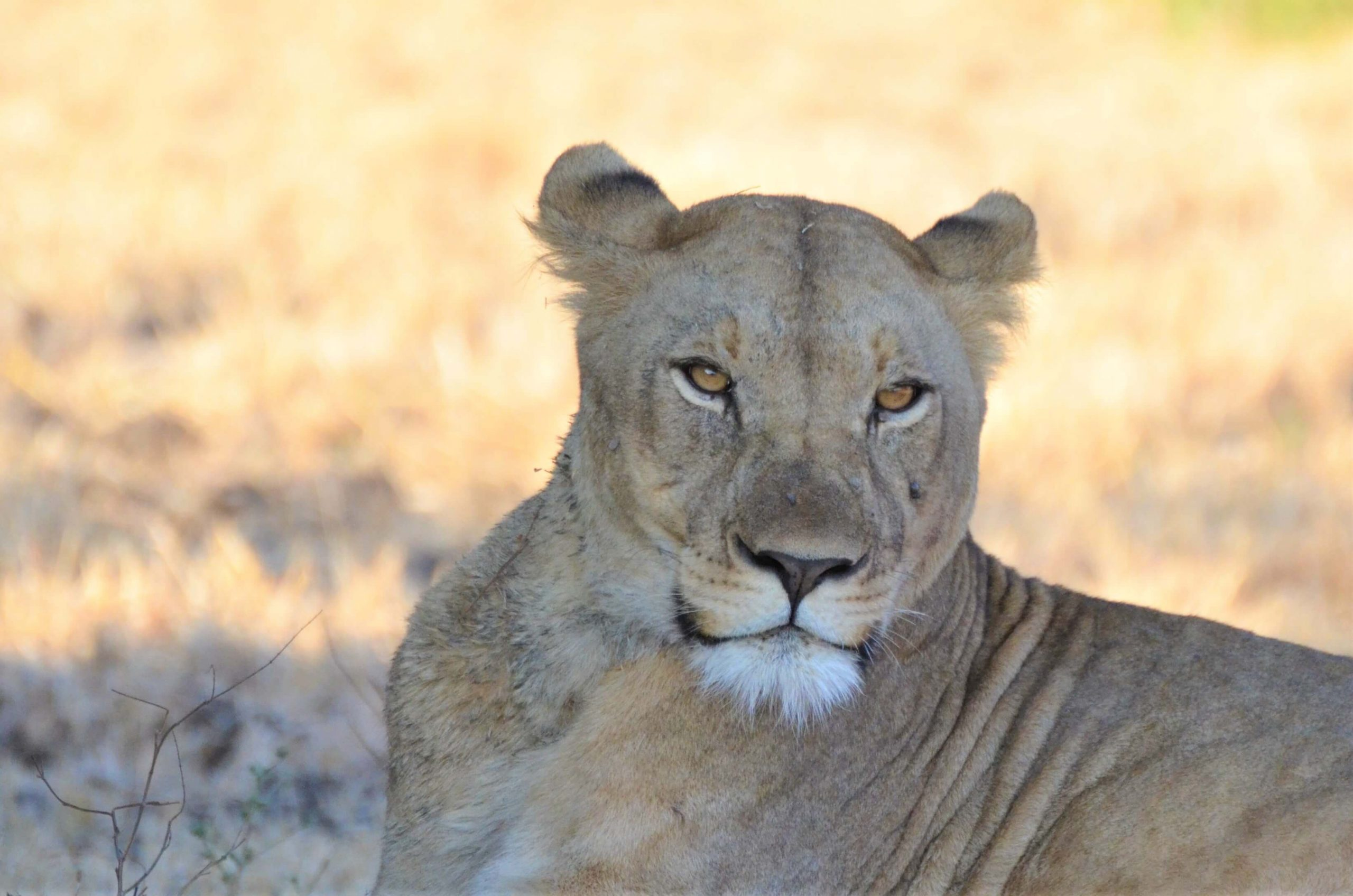 Lioness in Malawi