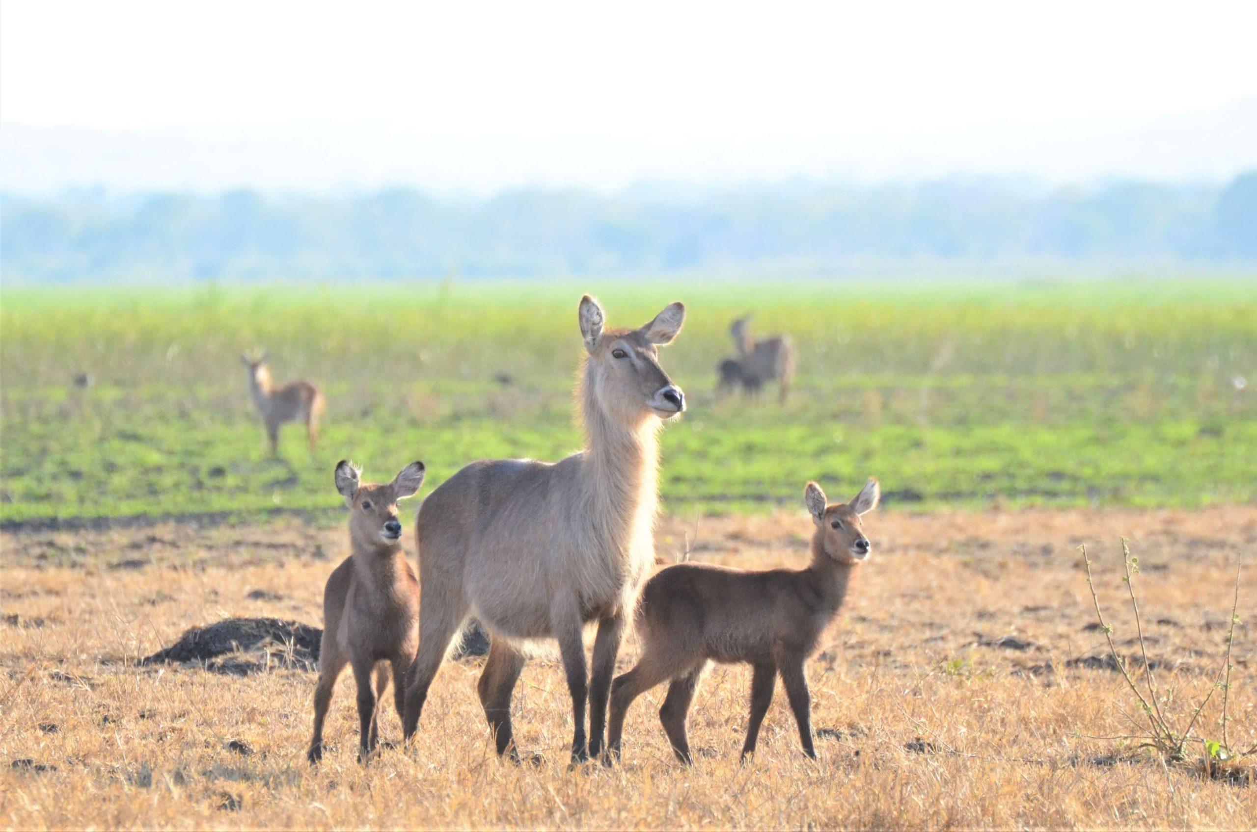 Waterbuck in Liwonde National Park