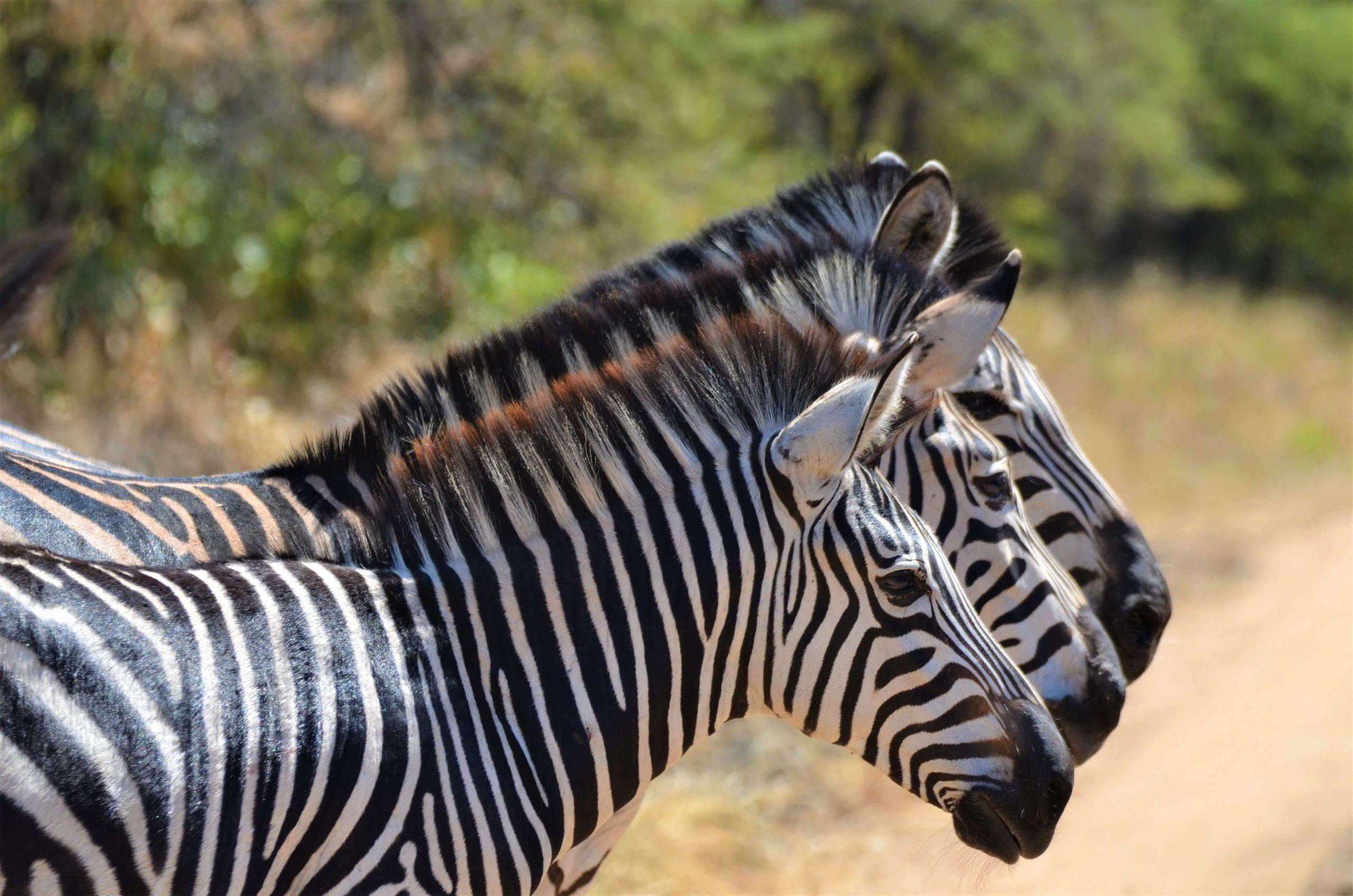 Zebras on safari in Malawi