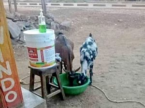 Goats drinking from a bucket