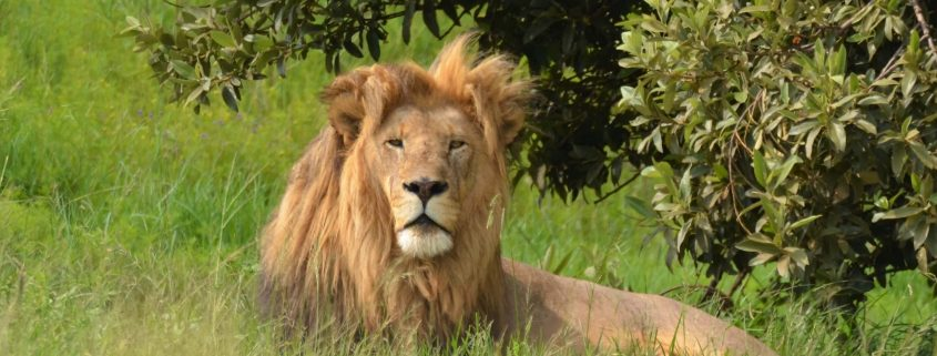 Beautiful male lion