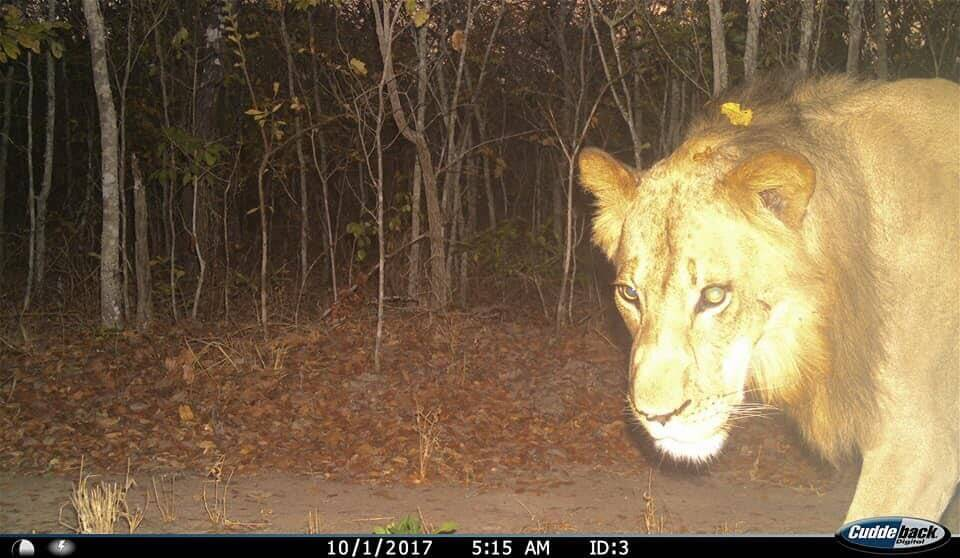 Lion on a camera trap in Kasungu National Park in 2017. Thanks to Brennan Peterson Wood – Carnivore Research Malawi