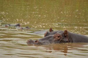 Hippos in Malawi