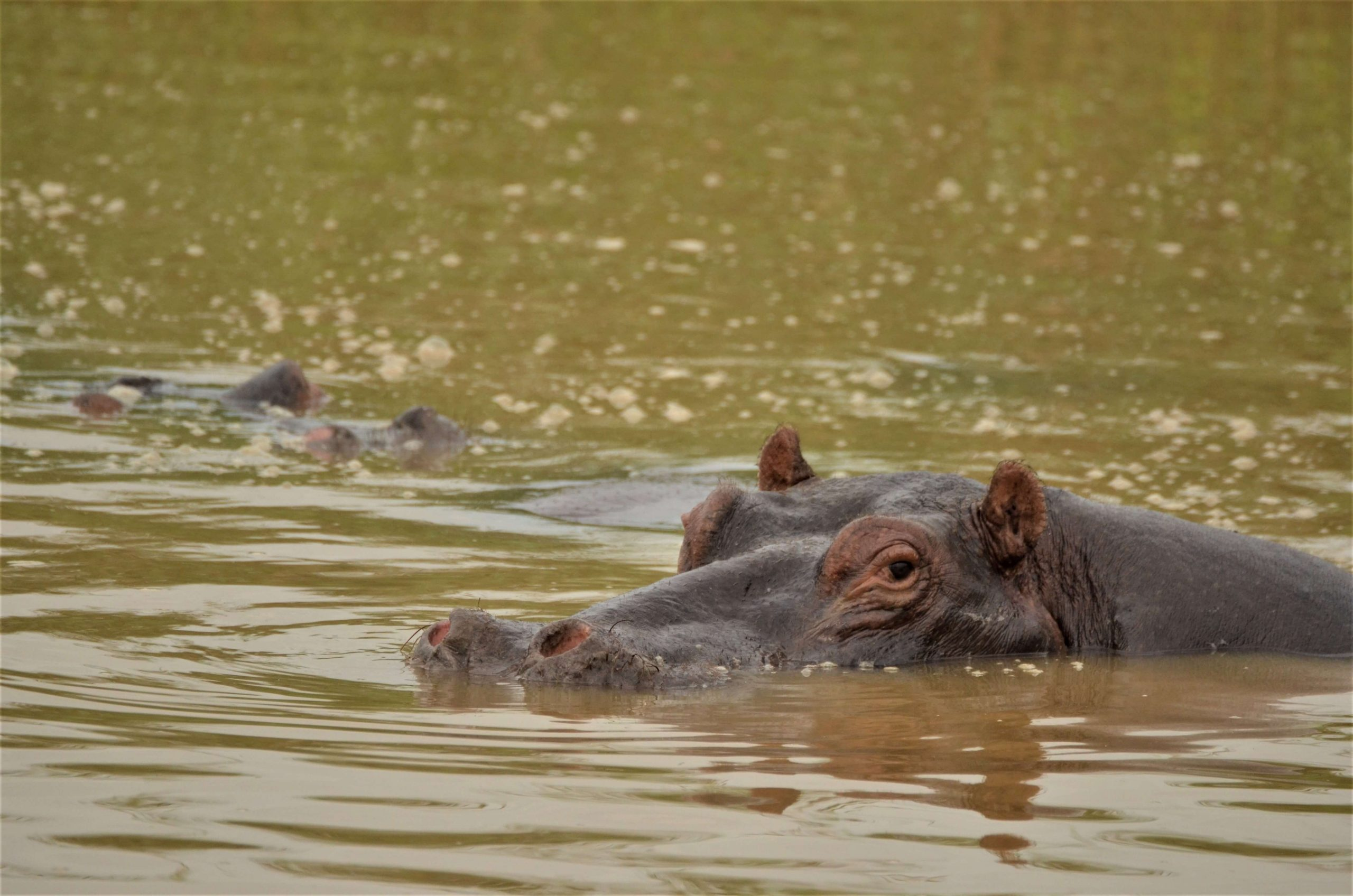 Hippopotamus in the river in Malawi