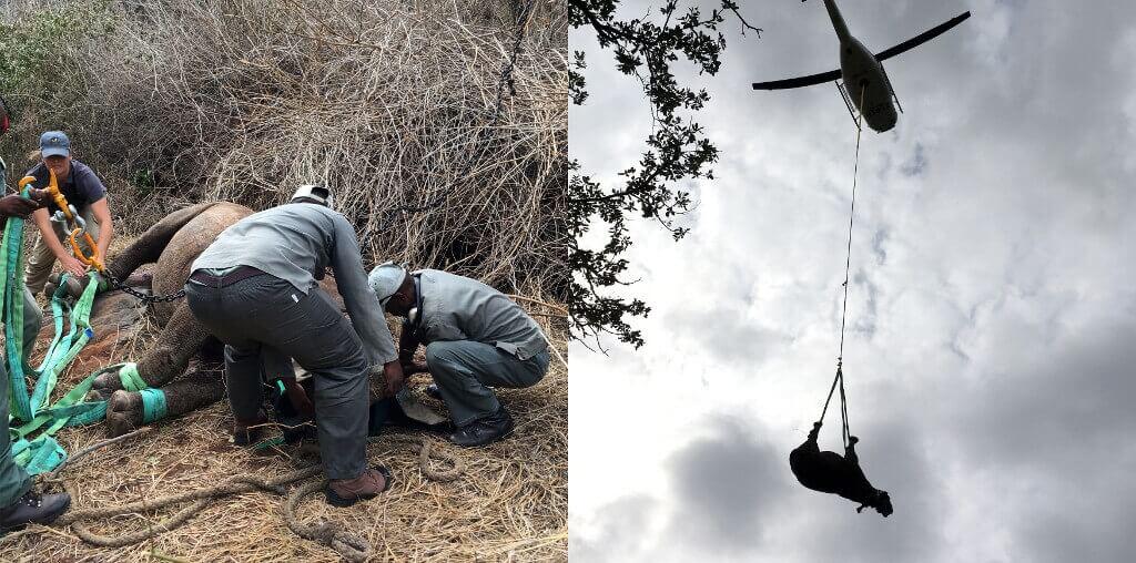 Zwarte neushoorn verhuisd naar Malawi