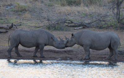Black rhinos in Malawi; saving this endangered species?