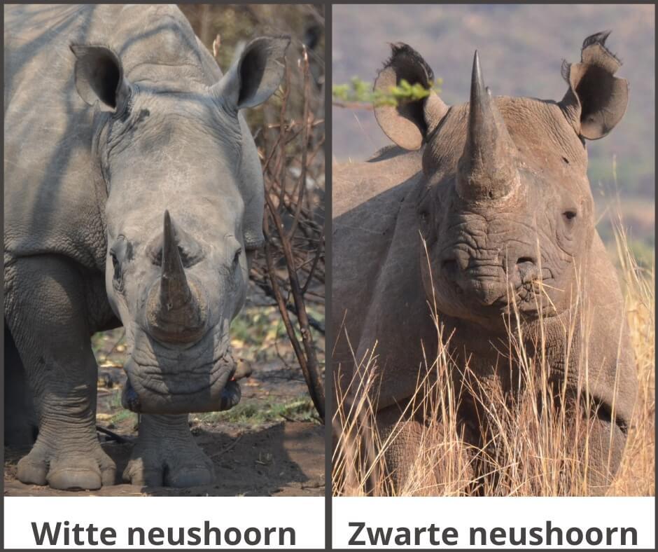 Het verschil tussen een witte en een zwarte neushoorn