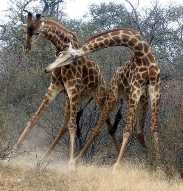 Nekkenden giraffen