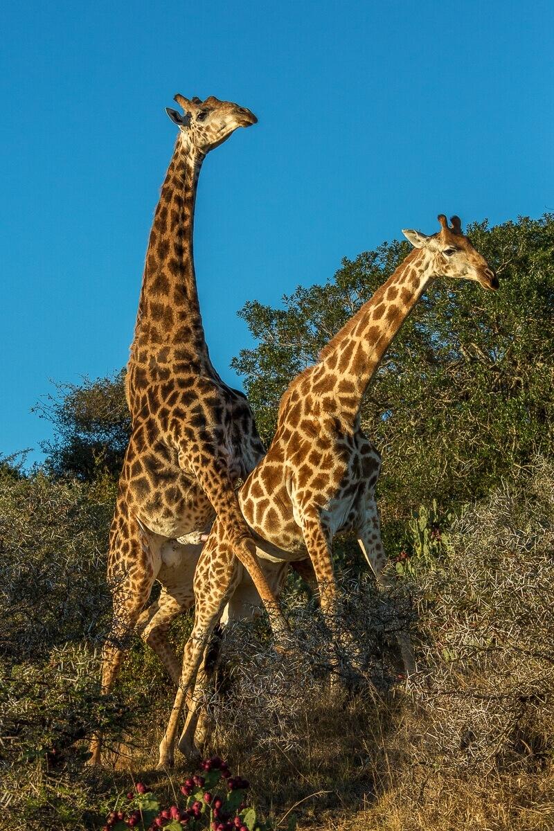 Parende giraffen