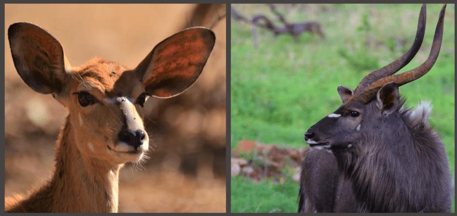 Nyala vrouwtje en mannetje