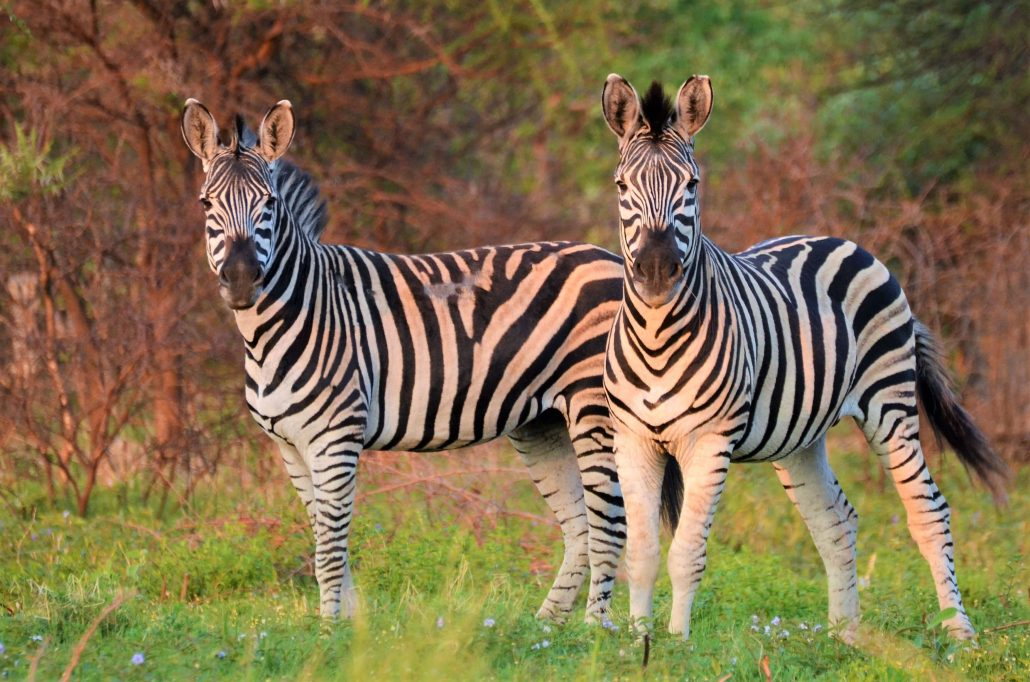 Twee zebra's