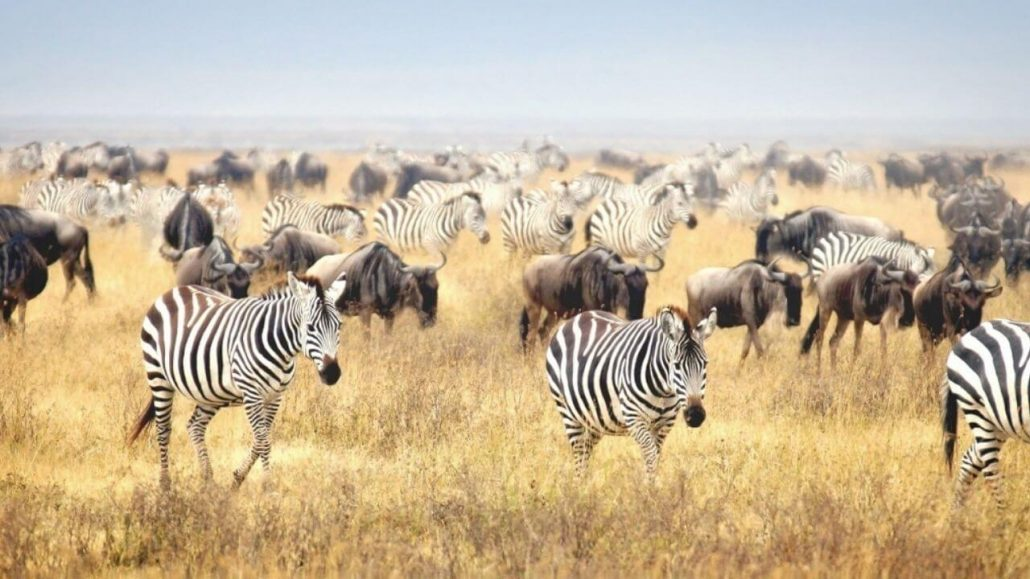 Veel zebra's en wildebeesten op de savanne