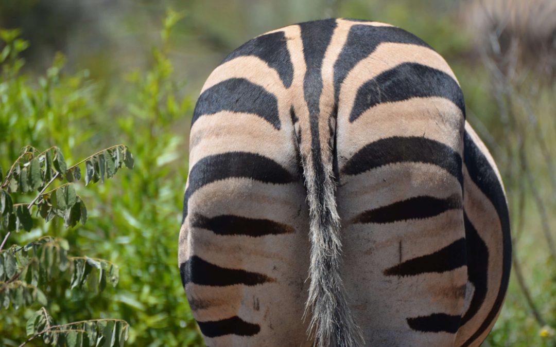 Zebras in Malawi; barcodes in the bush