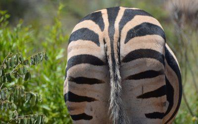 Zebra's in Malawi; de leukste streepjescodes van Afrika