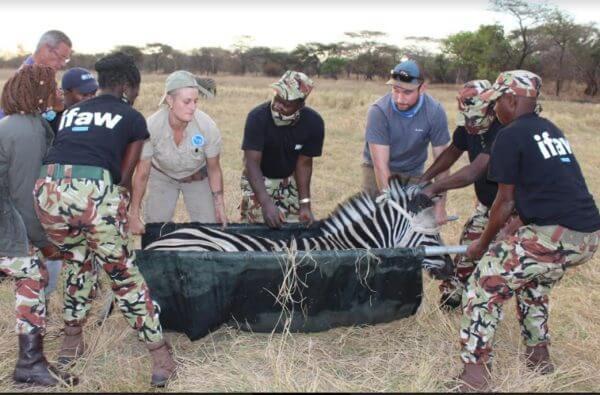 Zebra wordt vervoerd door een groep mensen