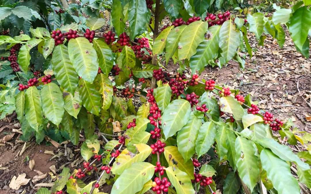 Drink Malawi coffee to protect the rainforest